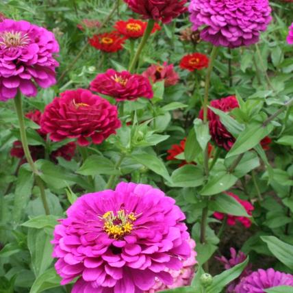 Zinnia fleur