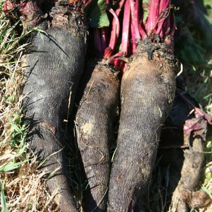 Le biau germe betteraves betterave crapaudine - Conservation des betteraves rouges ...