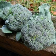 Le biau germe choux pomm s chou brocoli vert calabrais - Planter des choux de bruxelles ...