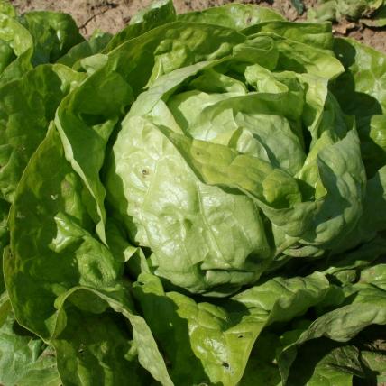 Le biau germe romaines laitue merveille d 39 hiver - Variete de salade d hiver ...