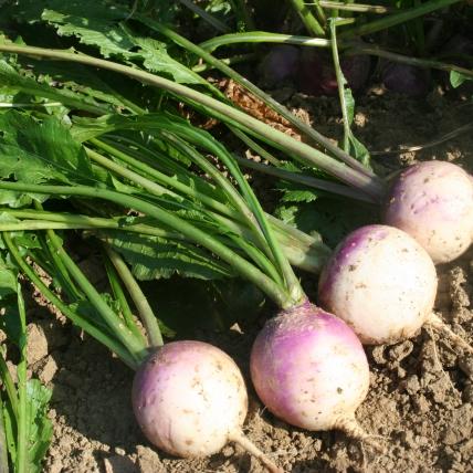 Le biau germe soja quinoa mil navet blanc globe collet violet - Variete de pommier rustique ...