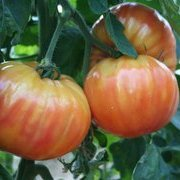 Tomate Striped German