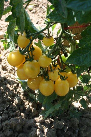 Résultats de recherche d'images pour « tomate groseille blanche »